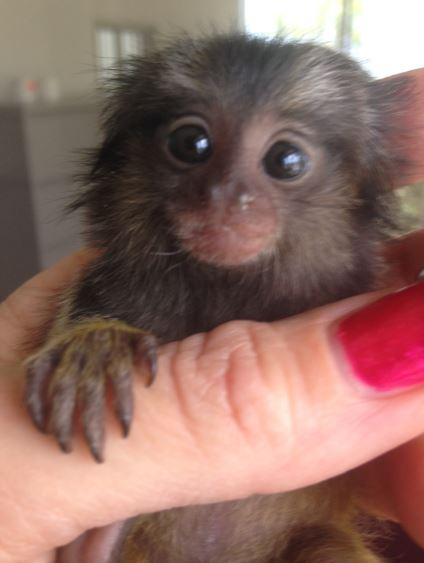 Marmoset Babies For Sale Baby Marmoset Getting Ready to