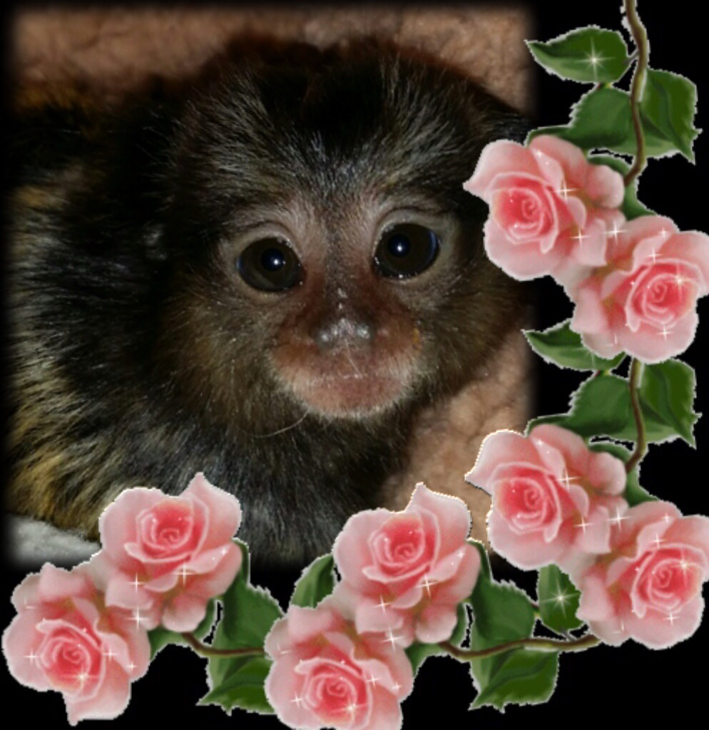 Marmoset Babies For Sale Baby Marmoset in The Roses
