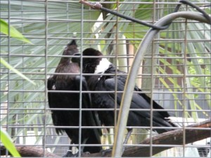 BREEDER PAIR OF AFRICAN WHITE NECKED RAVENS 2