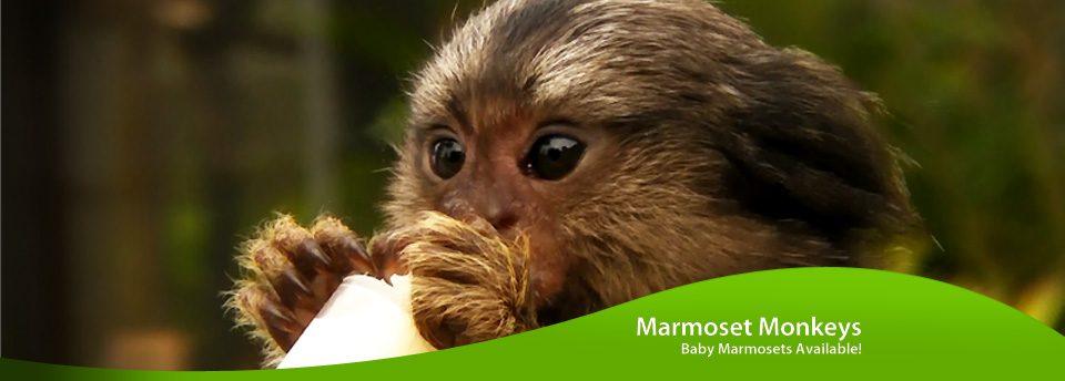 Marmoset Monkeys for Sale | Poggi's Animal HousePoggis