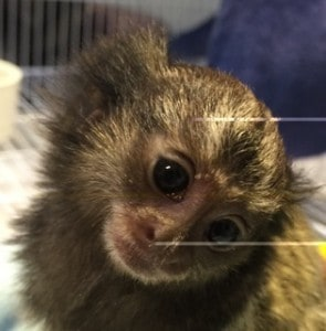 Marmoset Monkeys for Sale in Florida Exotic Animals and Pets Testimonials