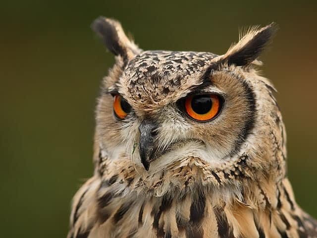 Owls in Florida - Eurasian Eagle Owl | Poggi's Animal