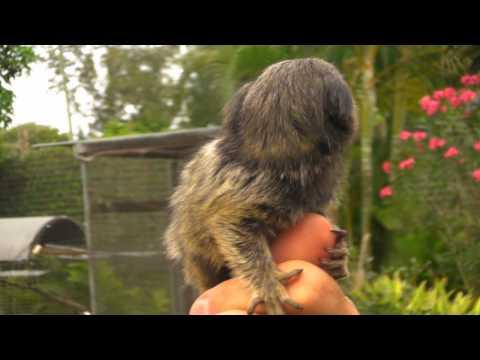 Finger Monkey for Sale - Marmoset Pricing & Cost | Poggi's