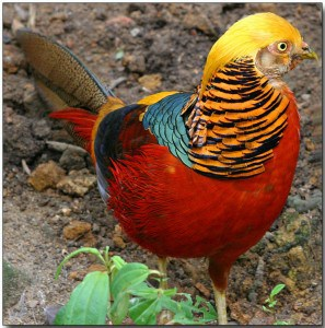 golden pheasant for sale in florida exotic animals florida