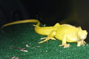 Albino Iguana for sale reptiles for sale Florida