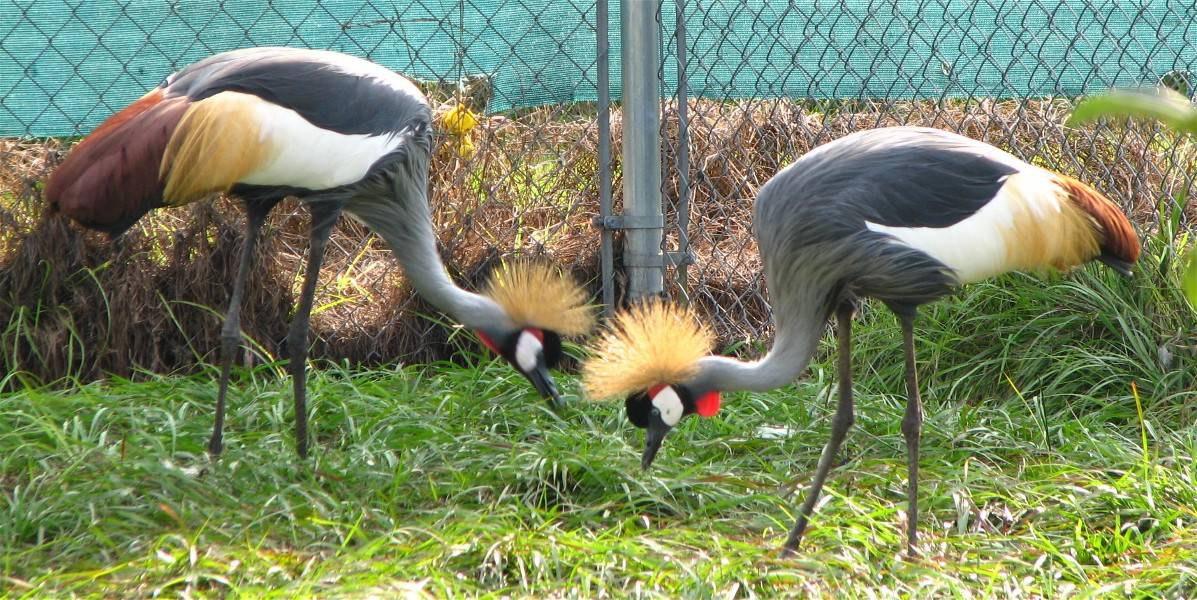 African crowned crane - photo#27