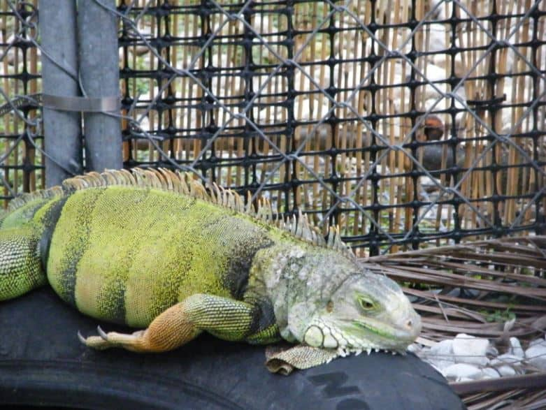 Blue Iguana For Sale : Iguana el sav green for sale free shipping orders or more