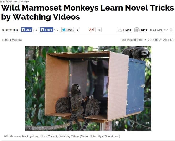 Wild Marmoset Monkeys