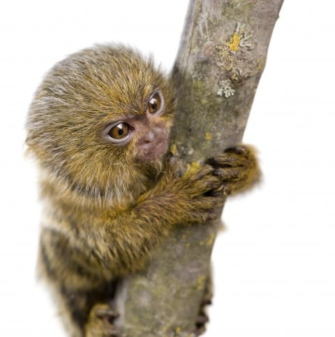 golden marmoset baby