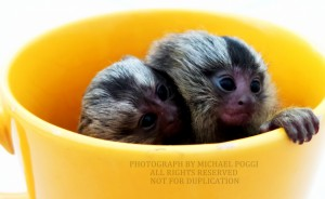2 cup marmoset
