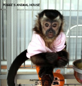 Baby Capuchin in Pink