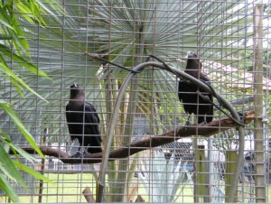 White Necked African Ravens for sale Florida