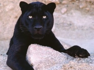 black leopards for sale exotic black spotted leopard florida