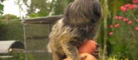 Baby Pet Marmoset Monkey