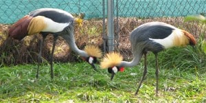 East African Crowned Cranes for Sale Florida Exotic Animals Sanctuary