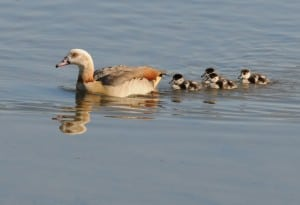 mallards and ducks for sale wild egyptian geese for sale florida