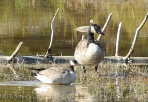 Giant Canadian Geese