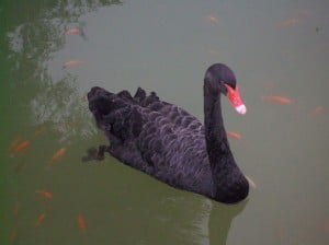black swans for sale exotic pets florida wildlife sanctuary