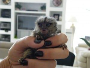 baby marmoset monkey