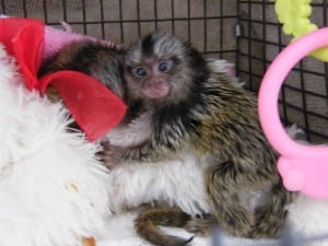 pair hand fed baby marmosets