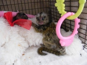 marmoset in baby cage