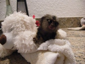 baby marmoset in cage