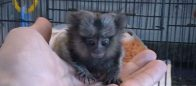 Baby Marmoset FOR SALE 2 GOOD