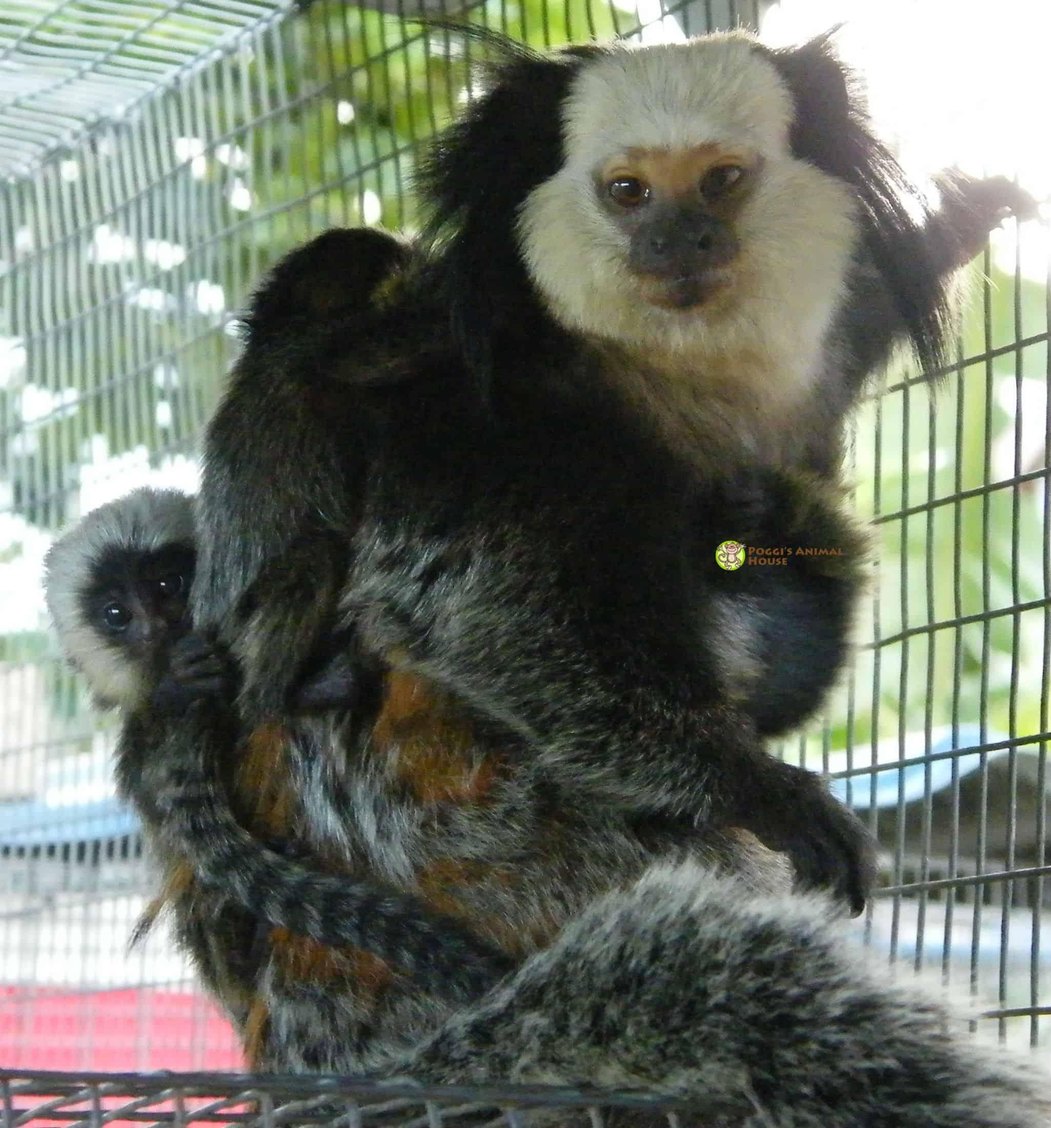 Meet my 2 baby Geoffrey monkeys