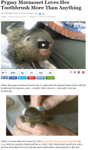 Pygmy Marmoset Loves Her Toothbrush More Than Anything