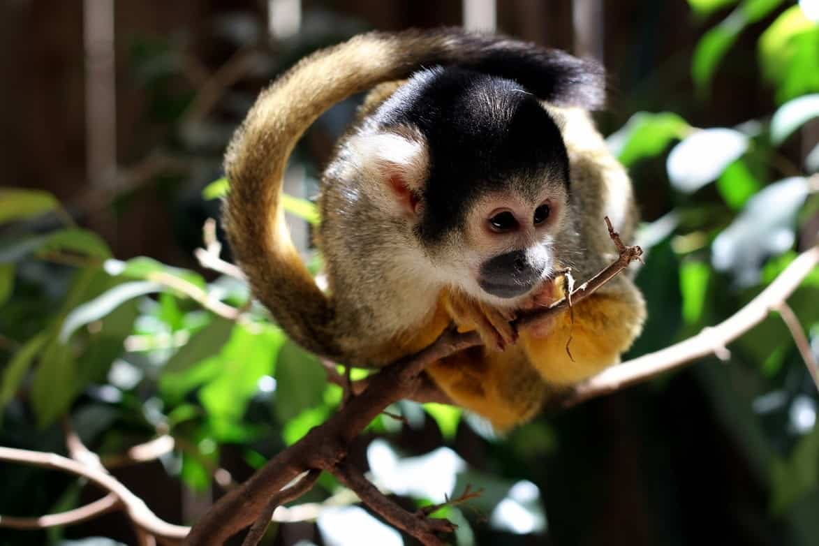 Fun Facts that Will Make You Want to Own a Pygmy Marmoset for Sale