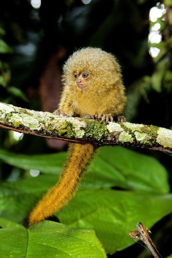 What are the Things to Consider before Purchasing a Monkey for Sale?