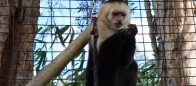 White Faced Capuchin at Poggi's Animal House