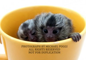 2 Marmosets in a Cup