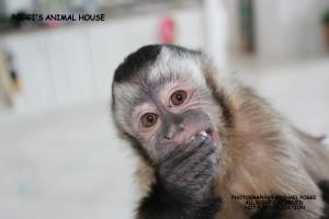 Laughing Capuchin Monkey