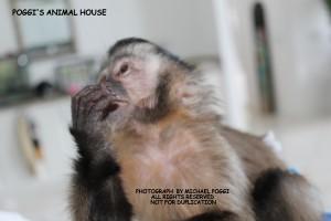 Capuchin monkey looking Away