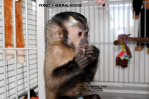 Capuchin monkey eating in a Cage