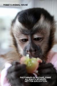 Baby Capuchin having a Snack